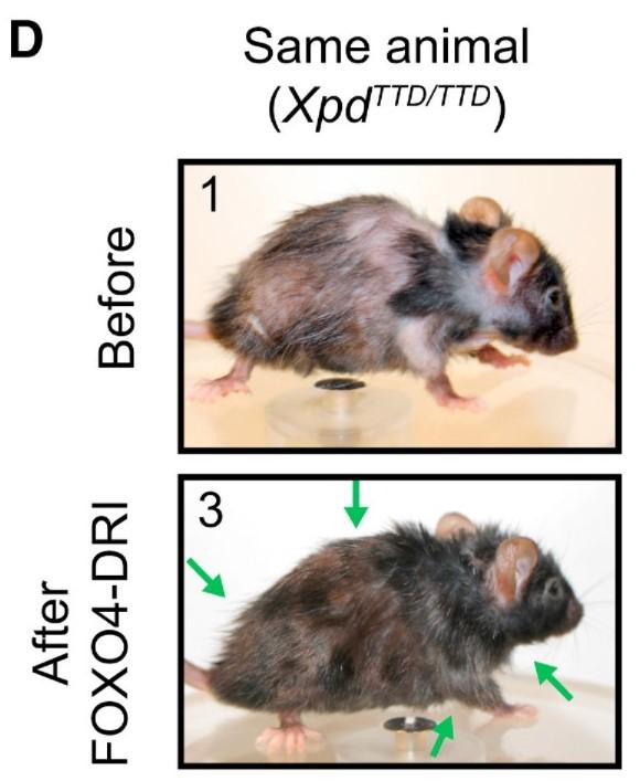עכבר שטופל בחומר סנוליטי
